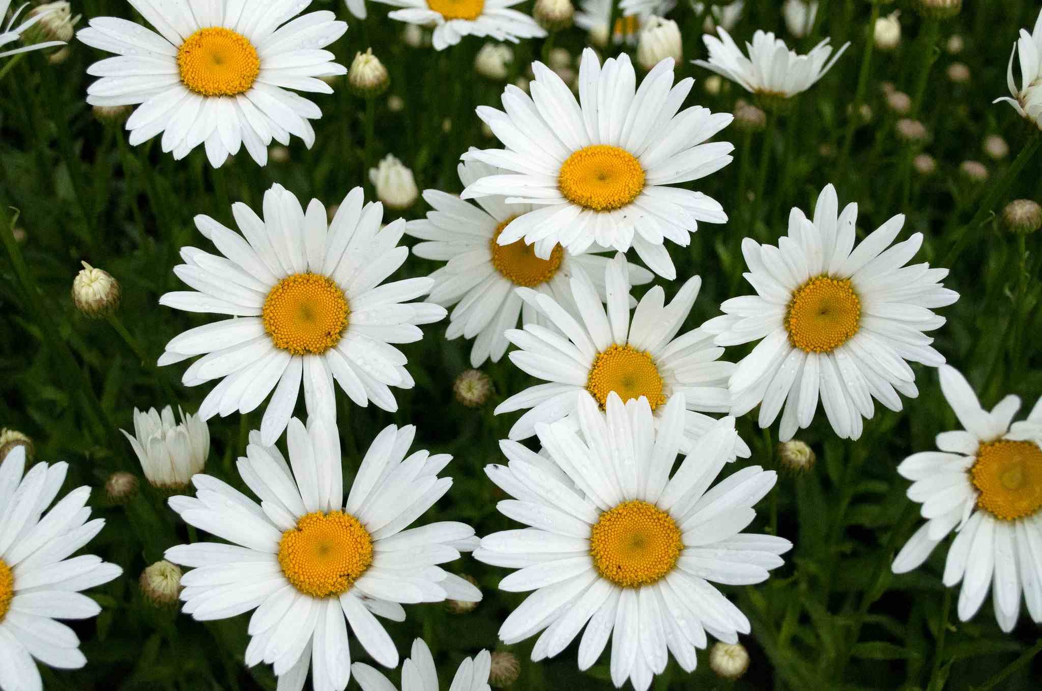 13 plants with daisy like flowers photo courtesy of mark engelbrecht izmirmasajfo
