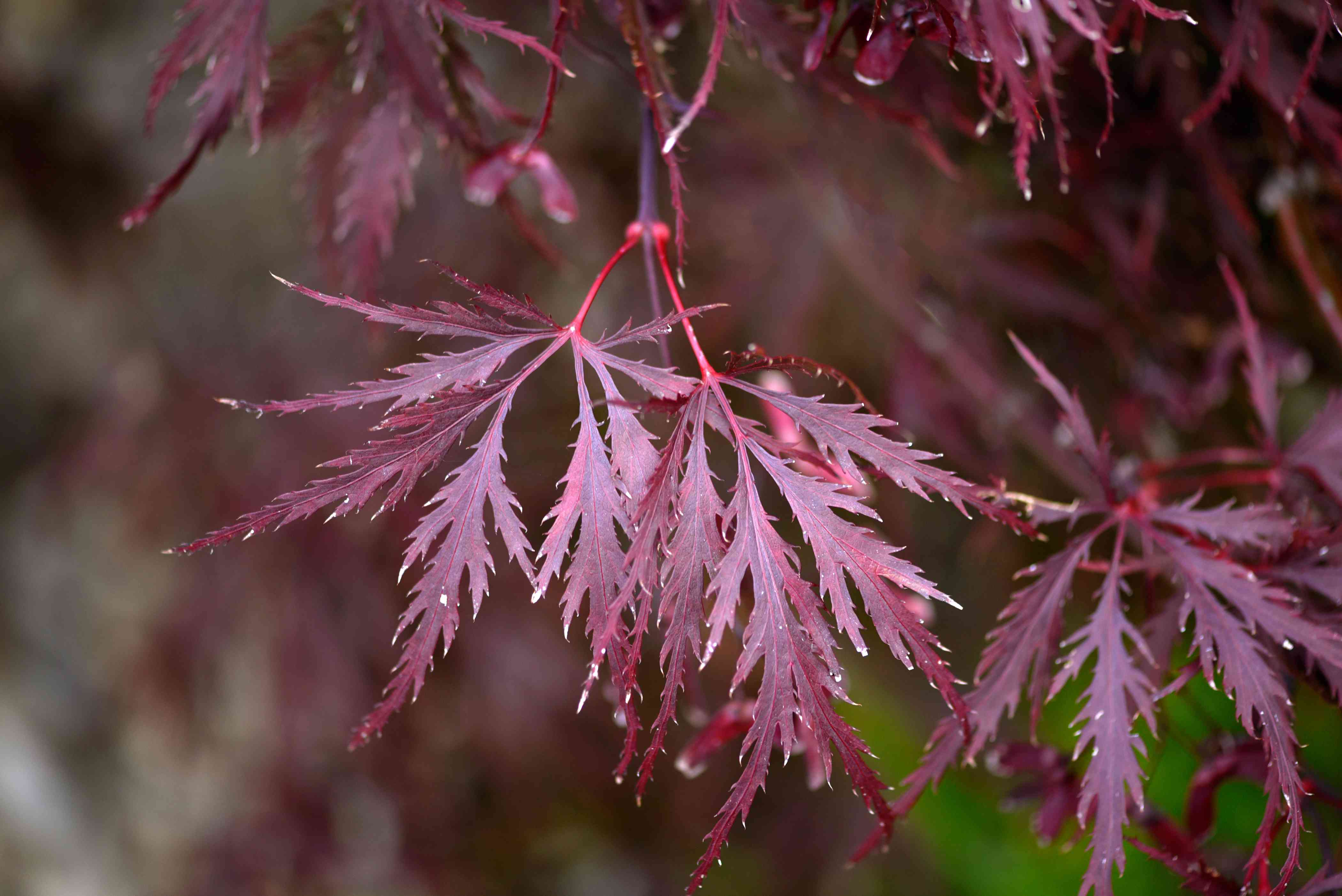 Red dragon Japanese maple tree branch with deeply cut and feathery red leaves