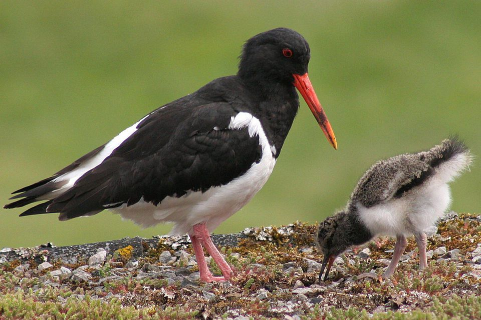 Oystercatcher Parent and Chick