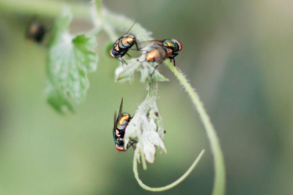 group of flies