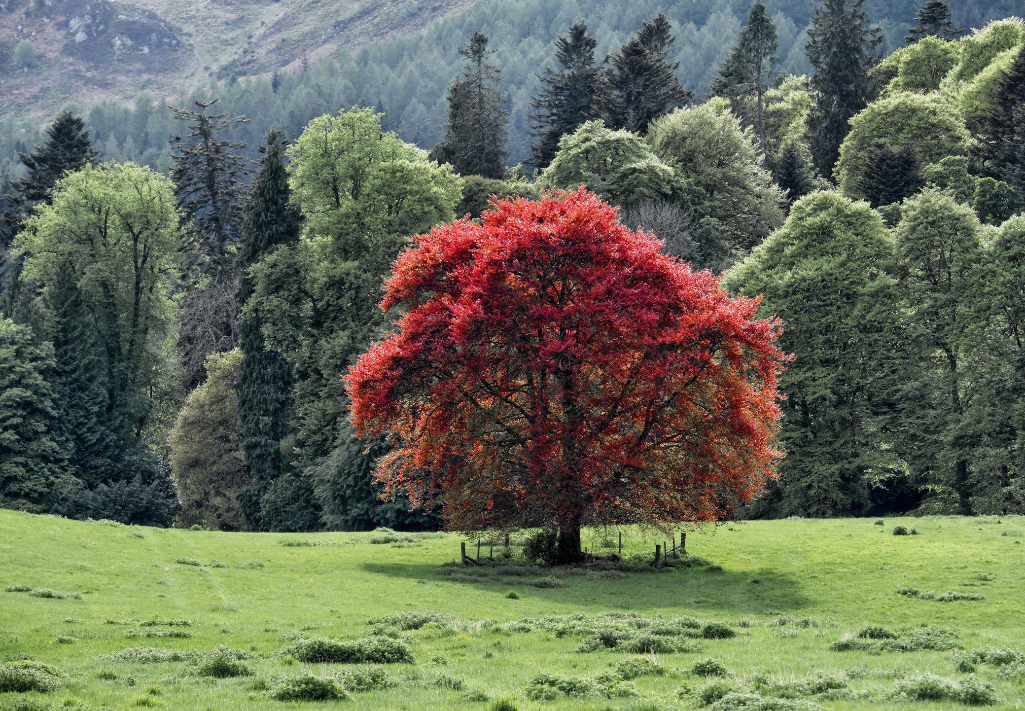 Five Common Varieties Of Beech Trees
