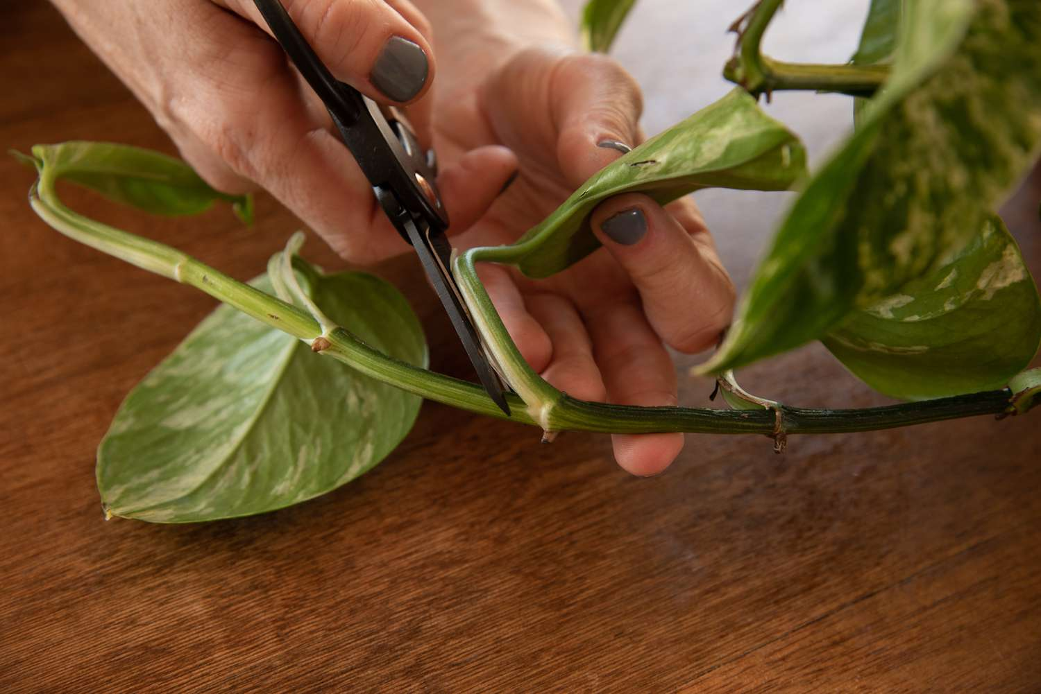 Pothos Plant: Care and Growing Guide