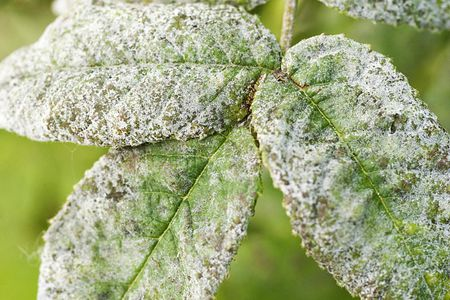 Preventing and Controlling Powdery Mildew