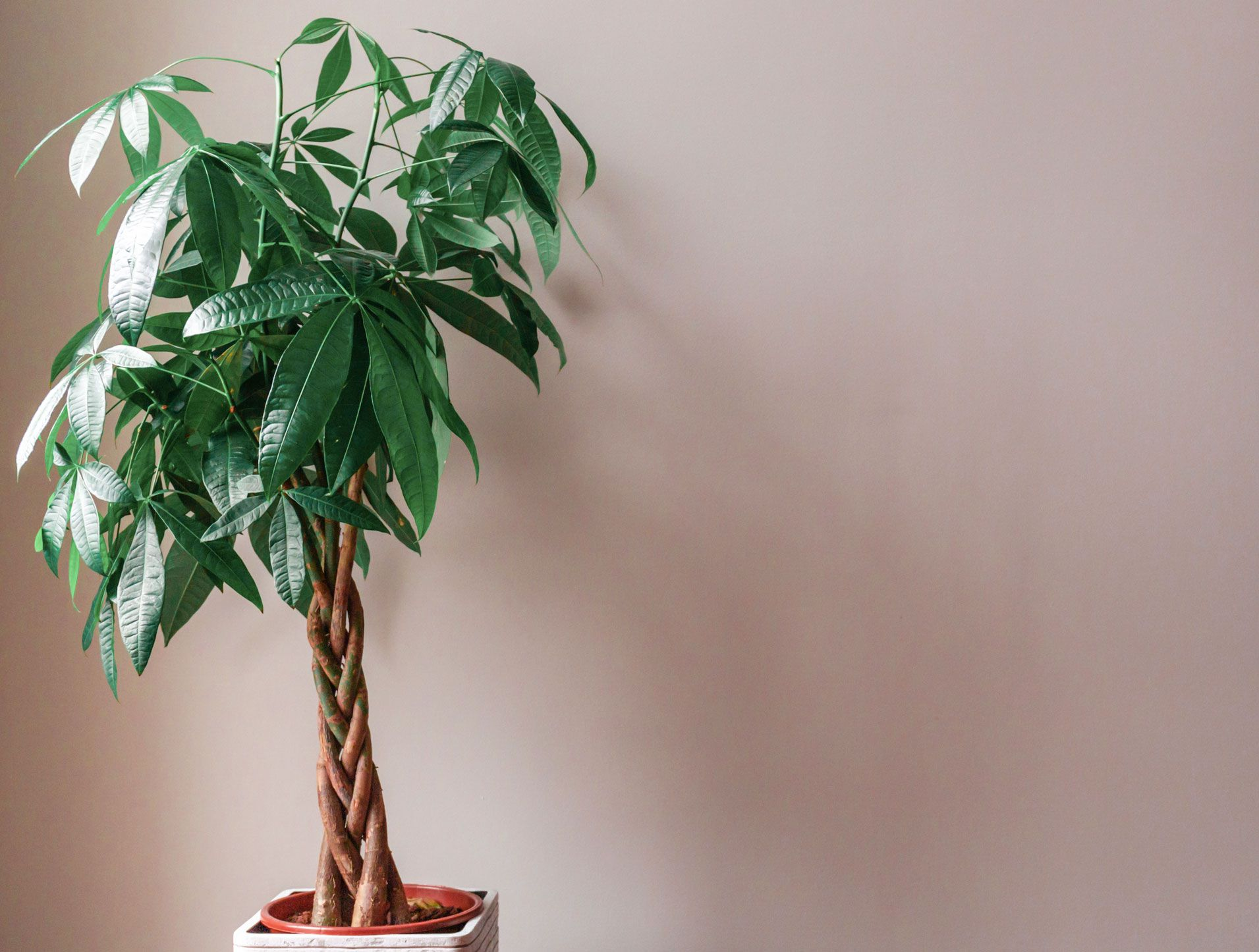 All About The Feng Shui Money Plant