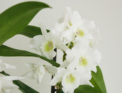 closeup of dendrobium orchids