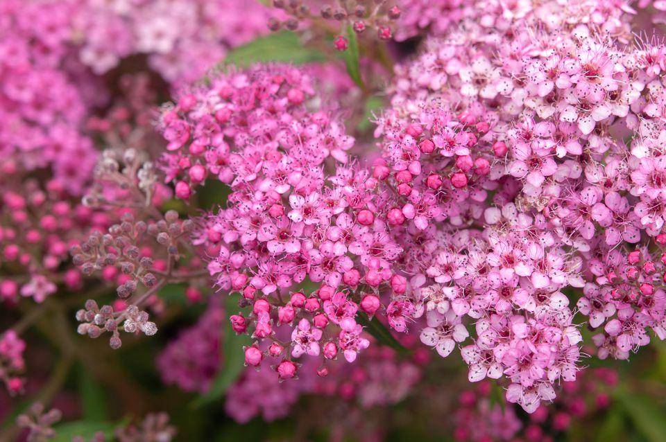 Spiraea shrub with pink flowers closeup