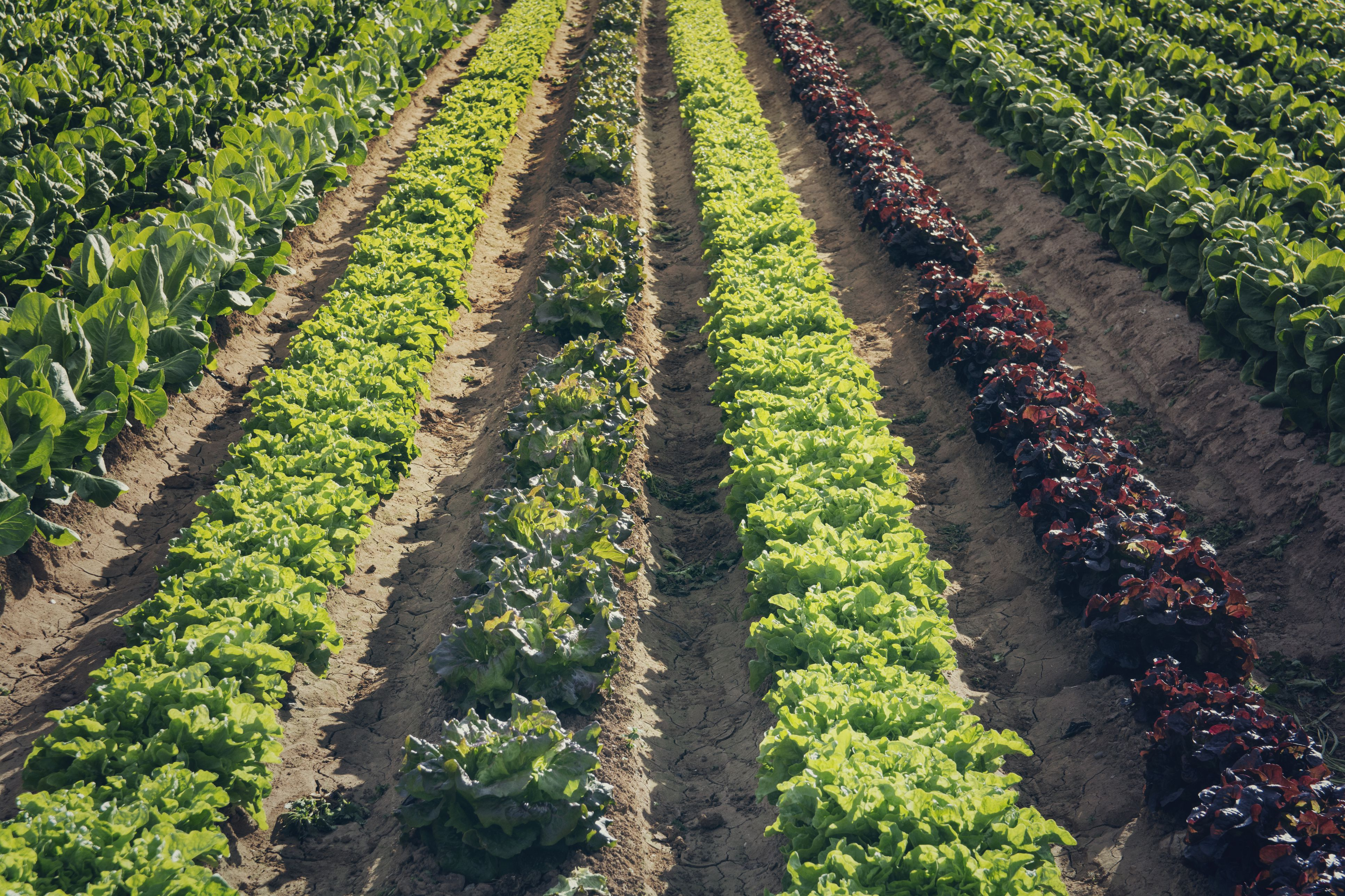 How To Plant Seeds In Wide Rows