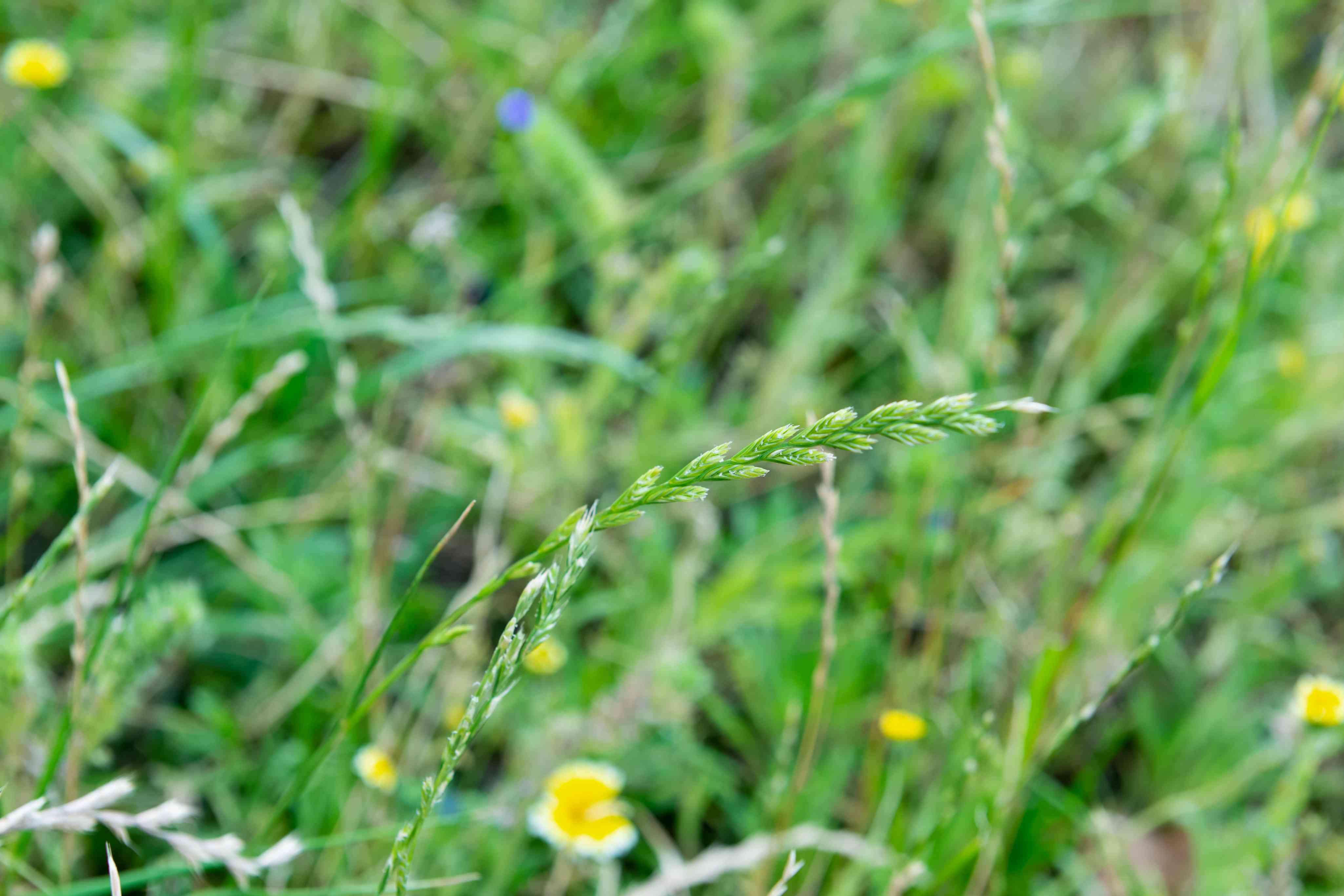 Perennial ryegrass blade with seeds on end closeup