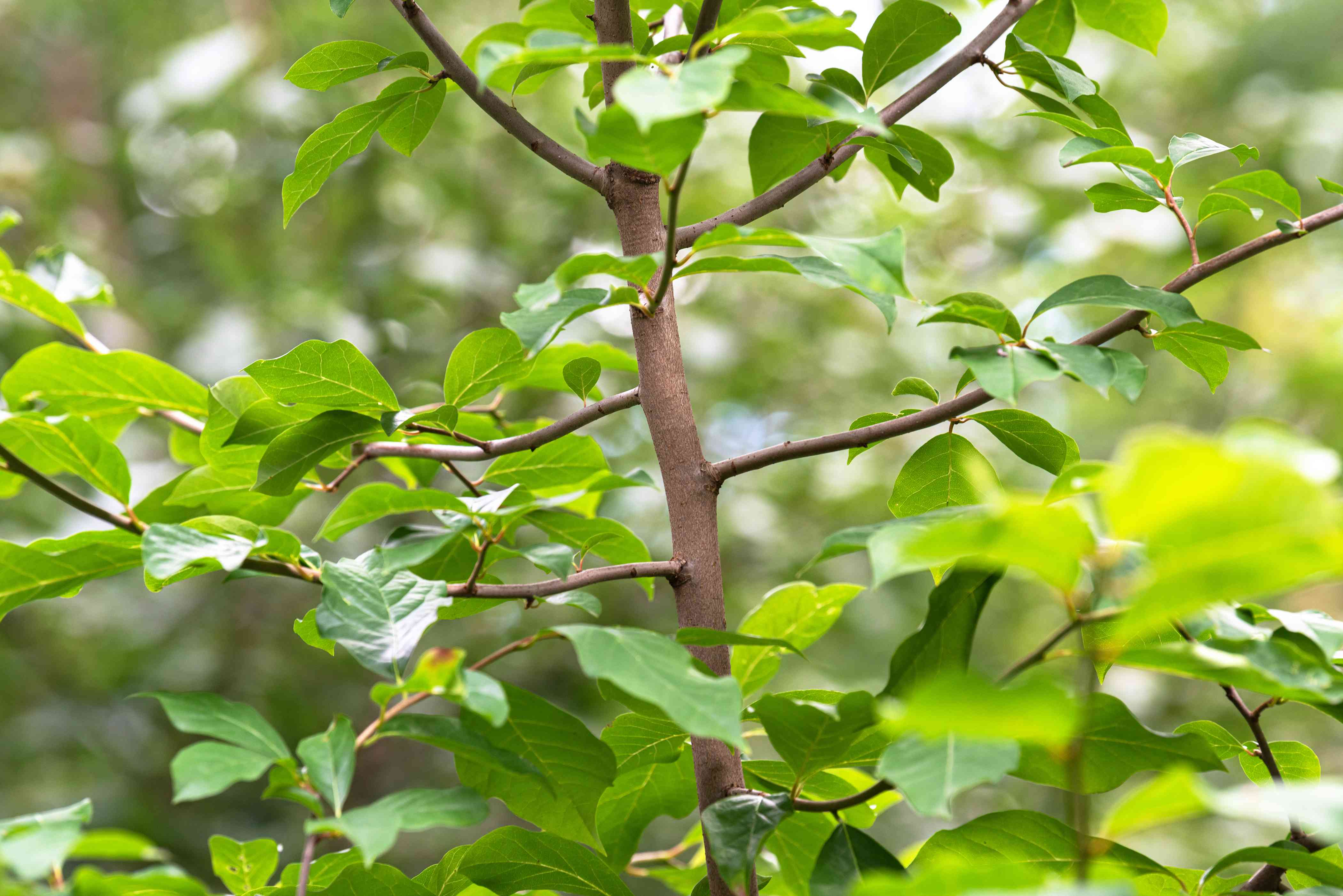 Black gum tree with thin light brown trunk and glossy green leaves closeup