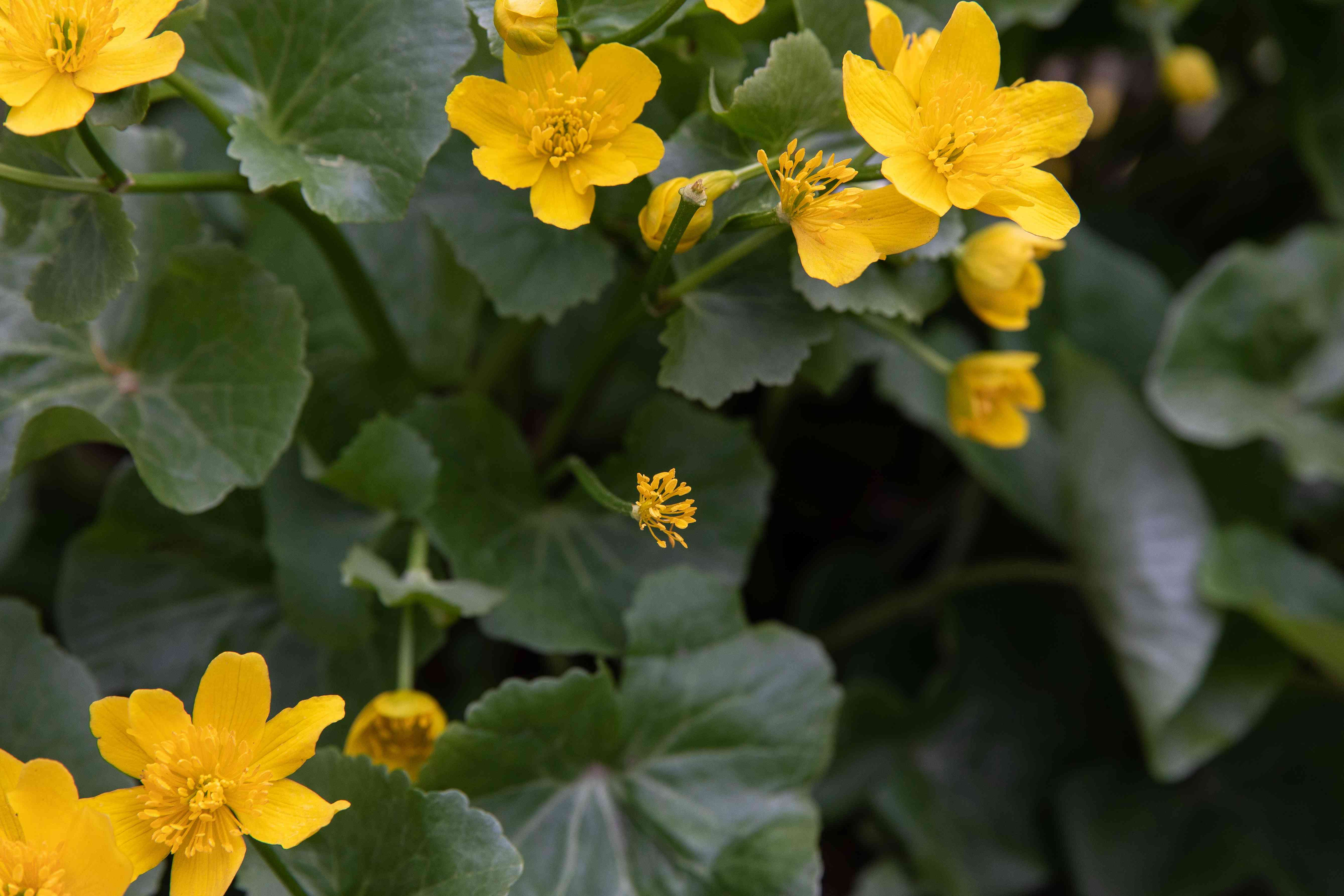 Marsh marigold plant with yellow sepals surrounded by rounded leaves