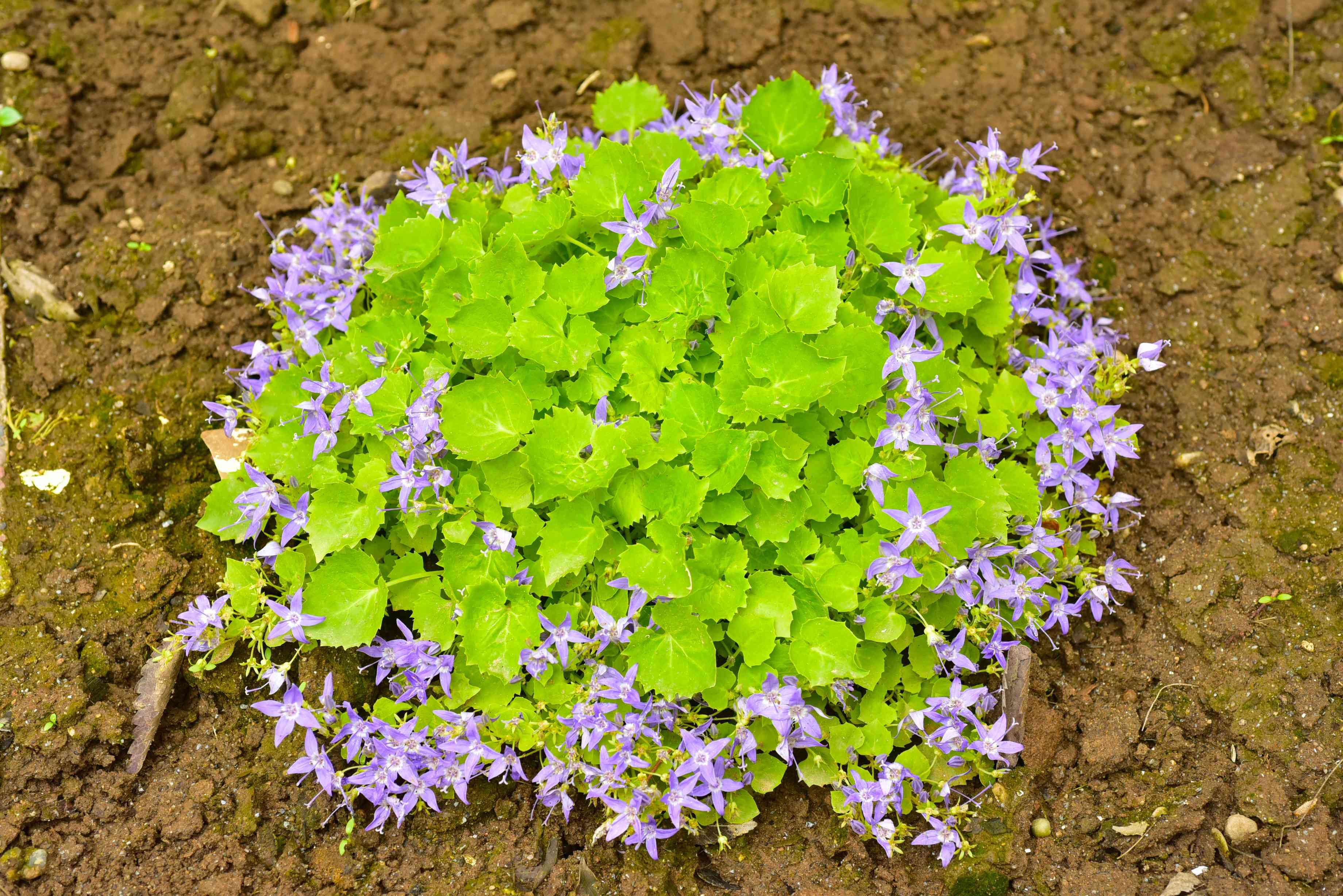 Serbian bellflower