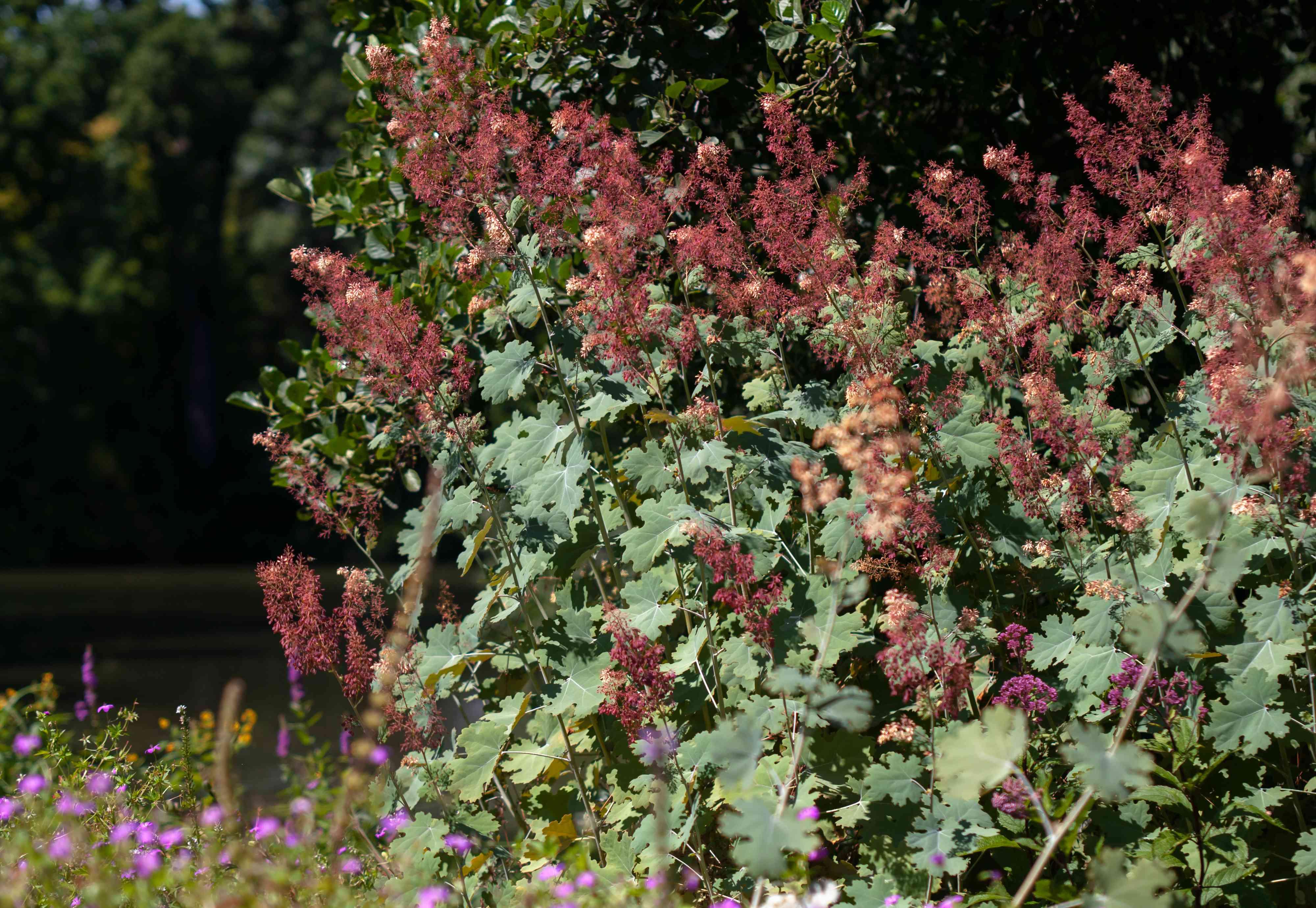 Plume poppy shrub with red flowers in garden