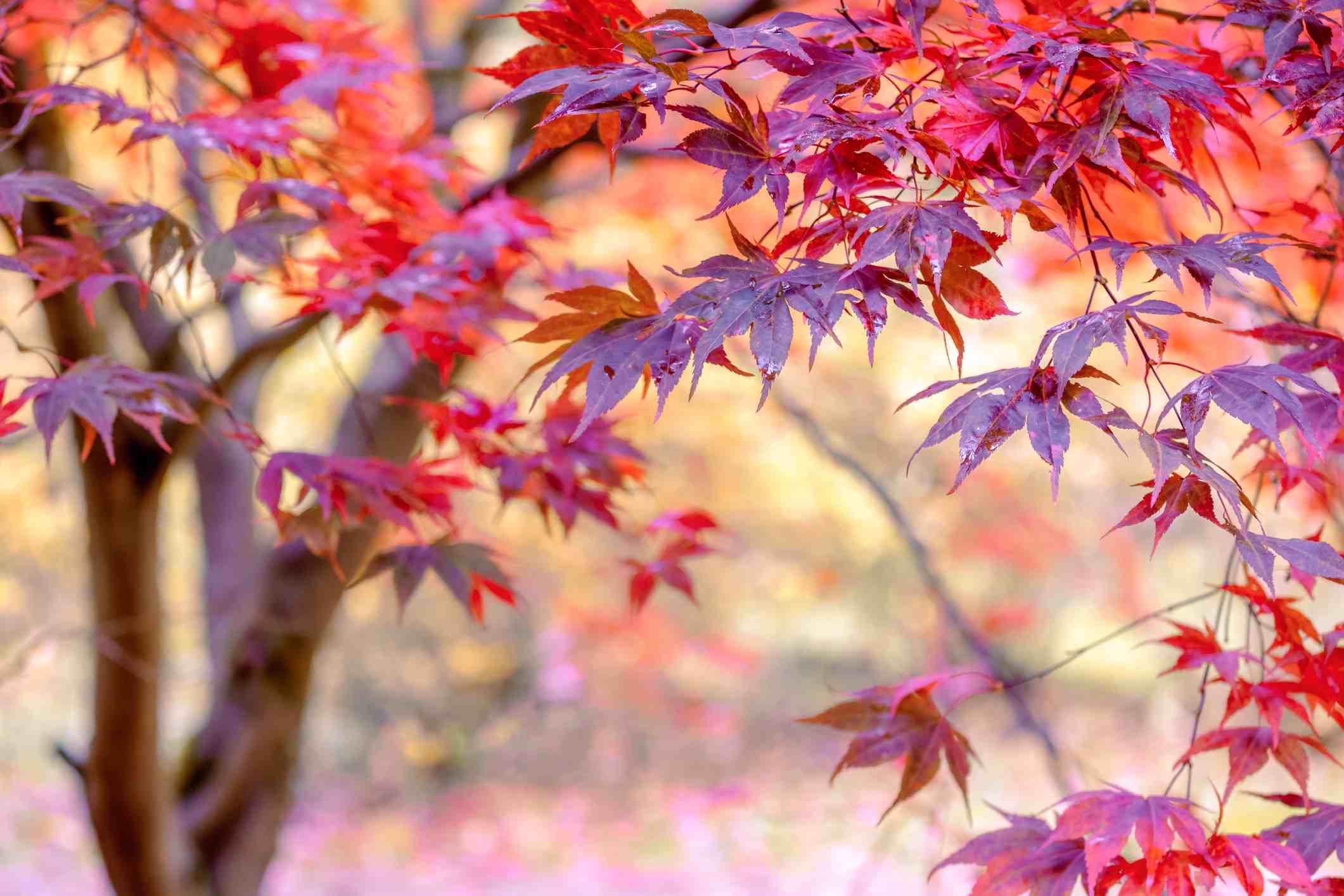 Bloodgood Japanese maple tree with dark red leaves.