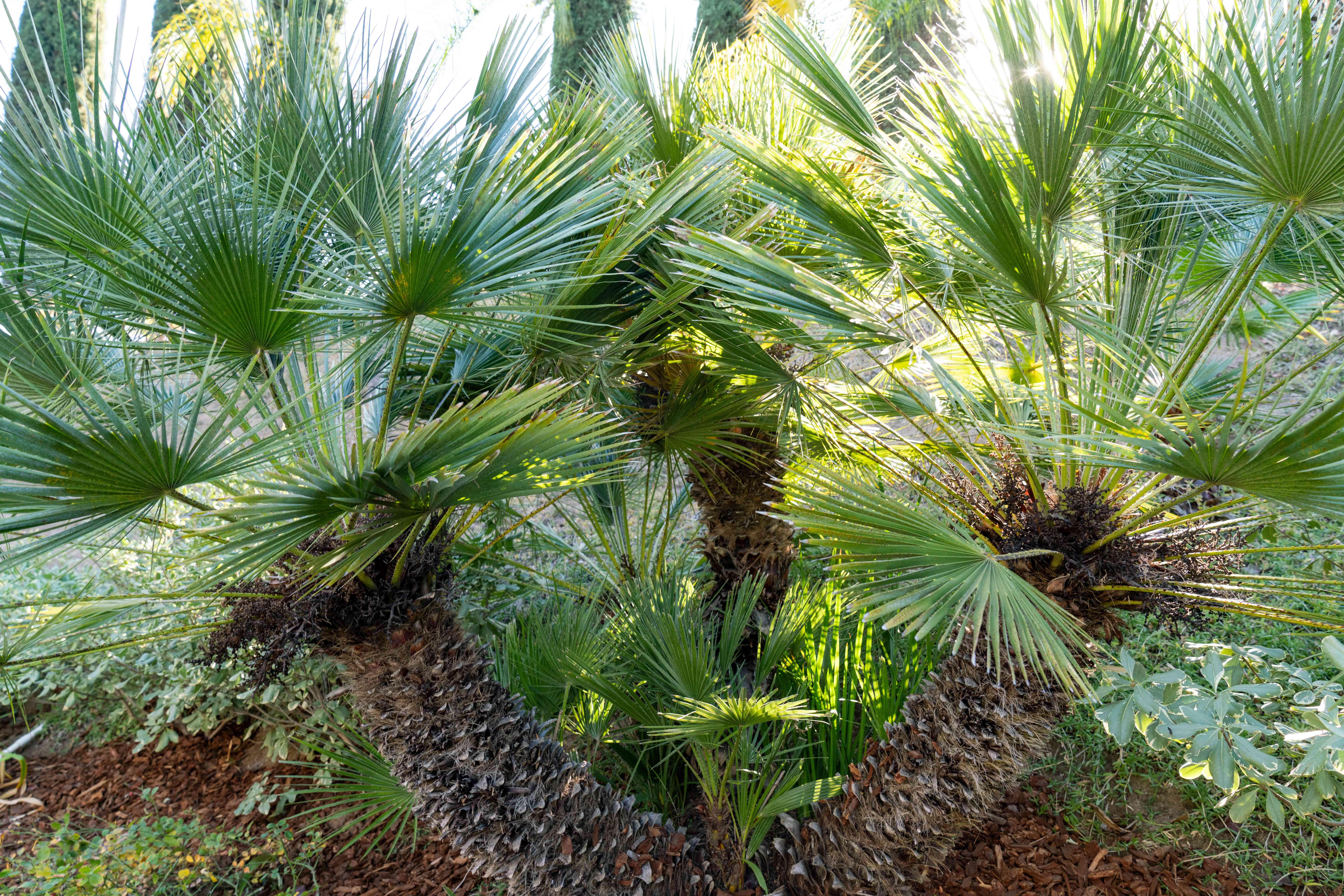 European fan palm fronds