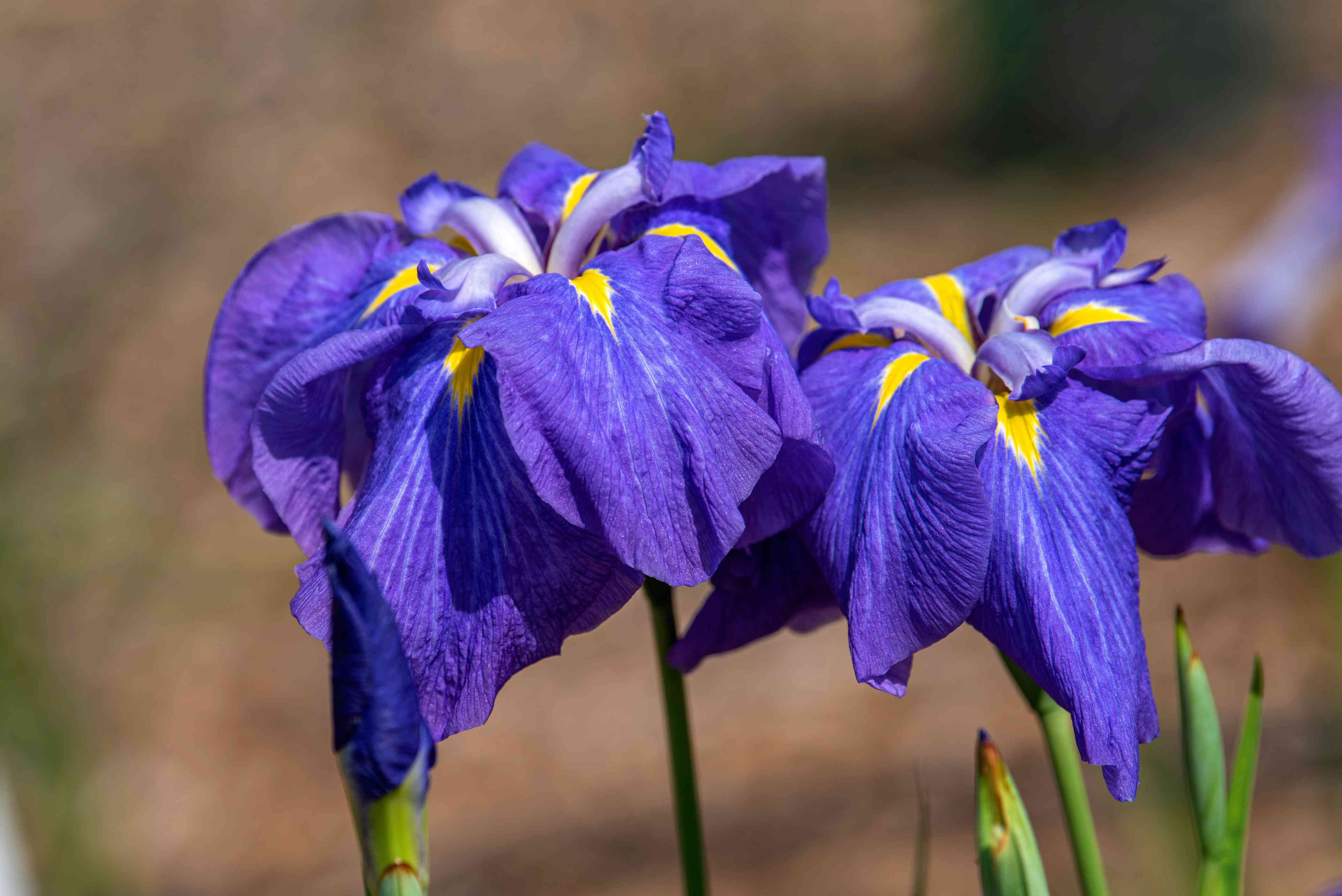 Iris flower with purple and yellow petals in sunlight closeup