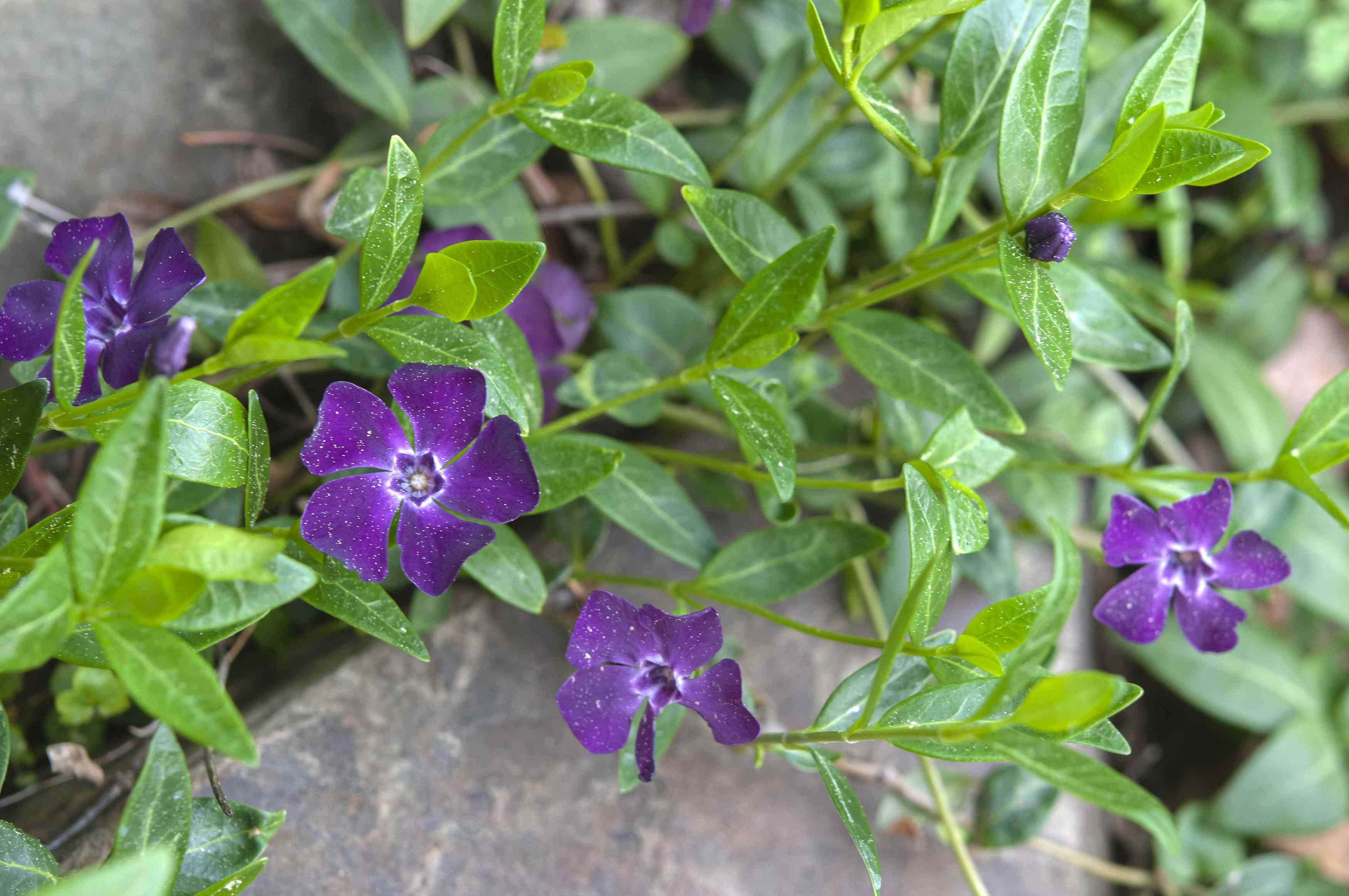 Vinca minor flowers with small purple petals on perennial drought-tolerant vines and rock