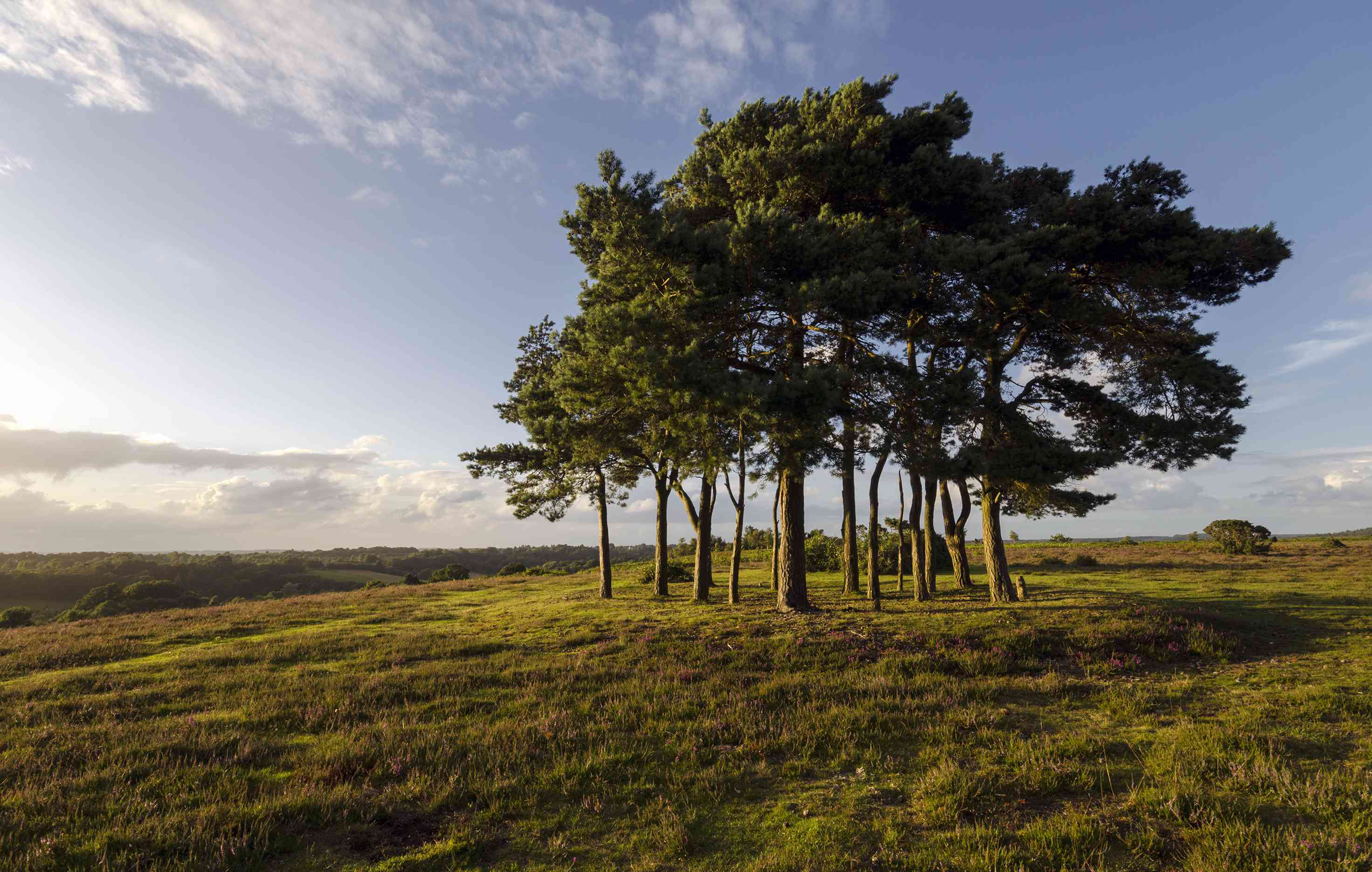 Clump of Scots Pine Trees
