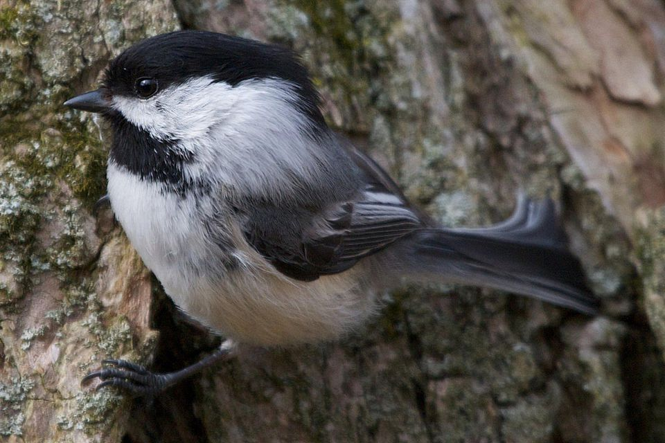 Black-capped chickadee on a tree trunk.