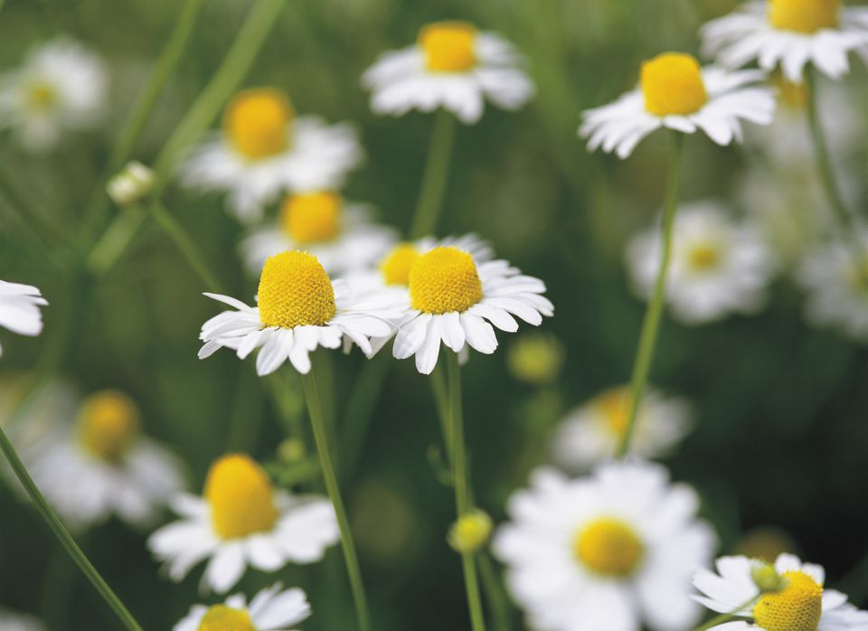 German Chamomile, Close Up, Differential Focus