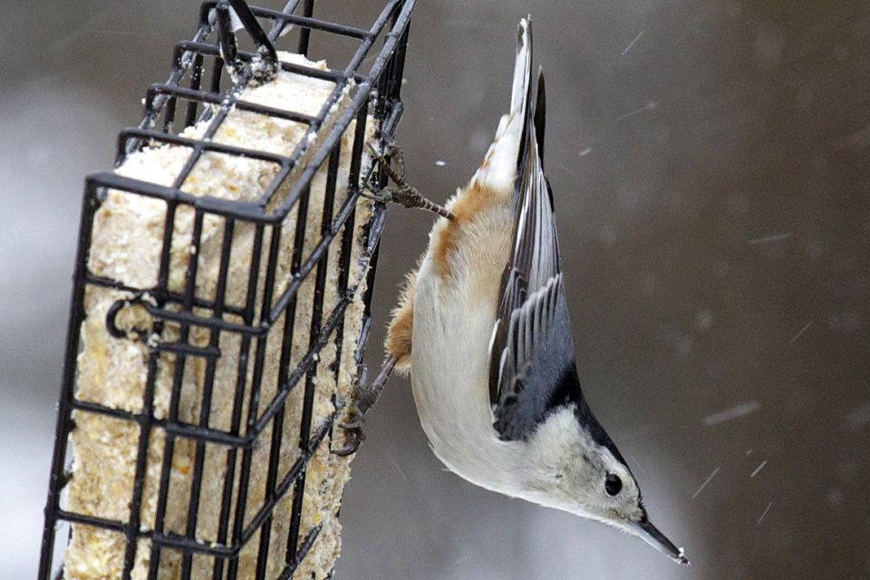 Nuthatch on a Suet Feeder