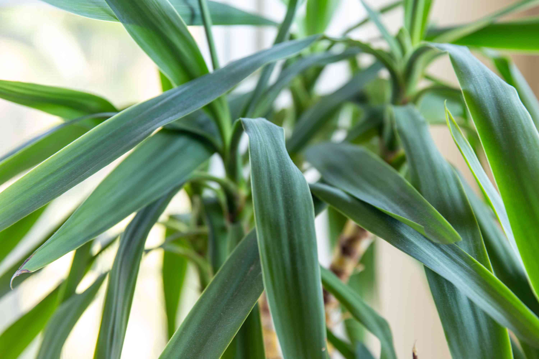 closeup of a yucca plant