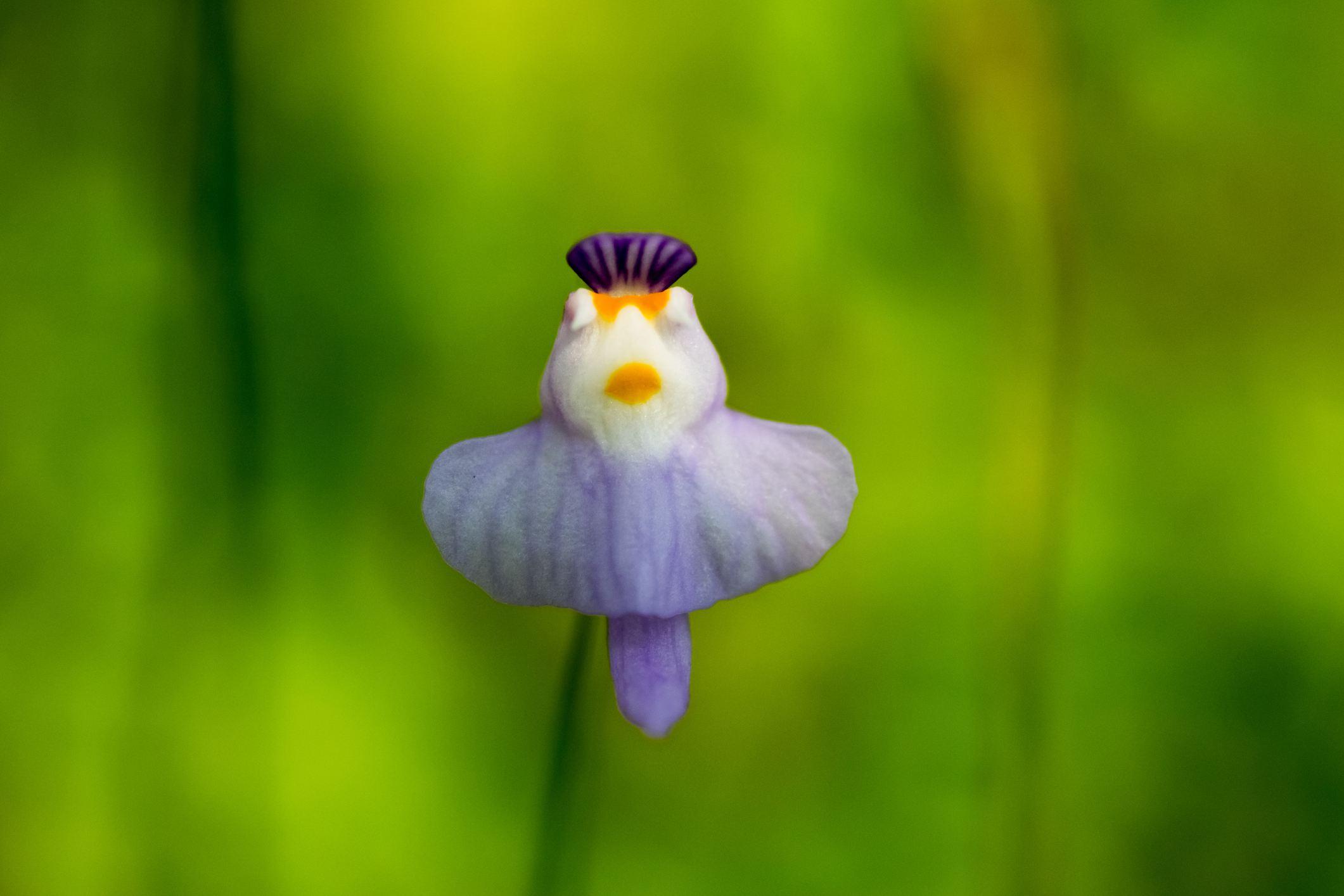 Carnivorous bladderwort plant with lavender flower.
