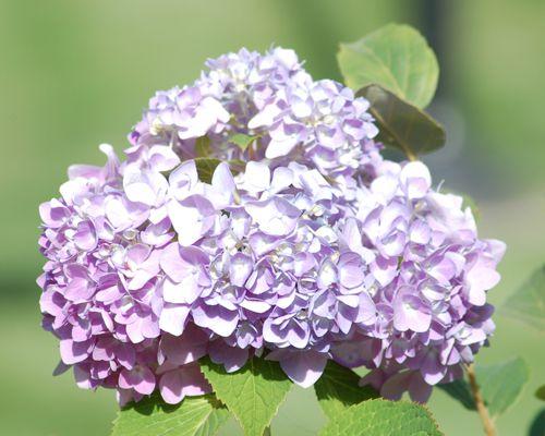 Imagen de hortensias de lavanda