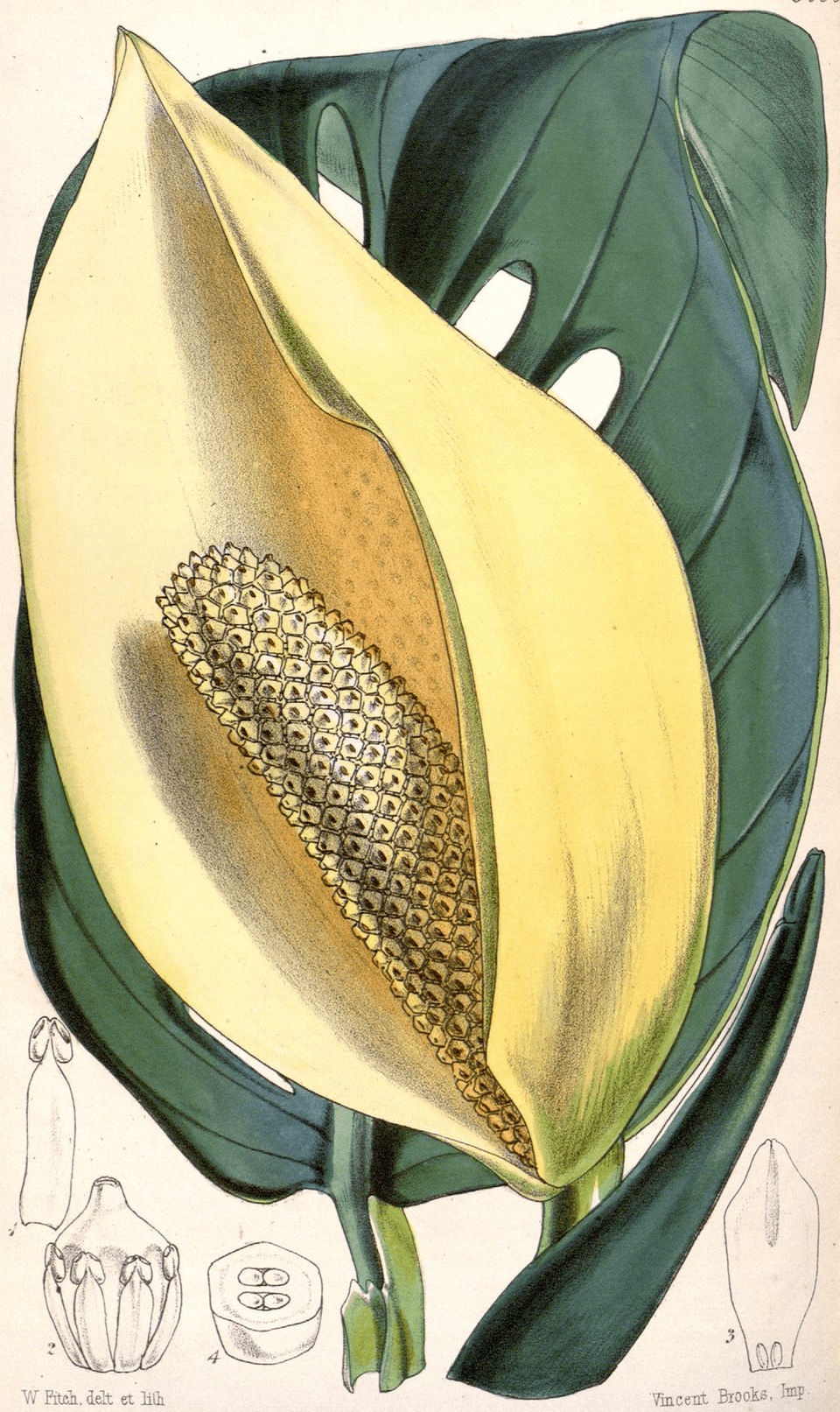 Illustration of monstera adansonii