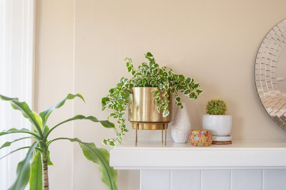 Swedish Ivy on a mantel