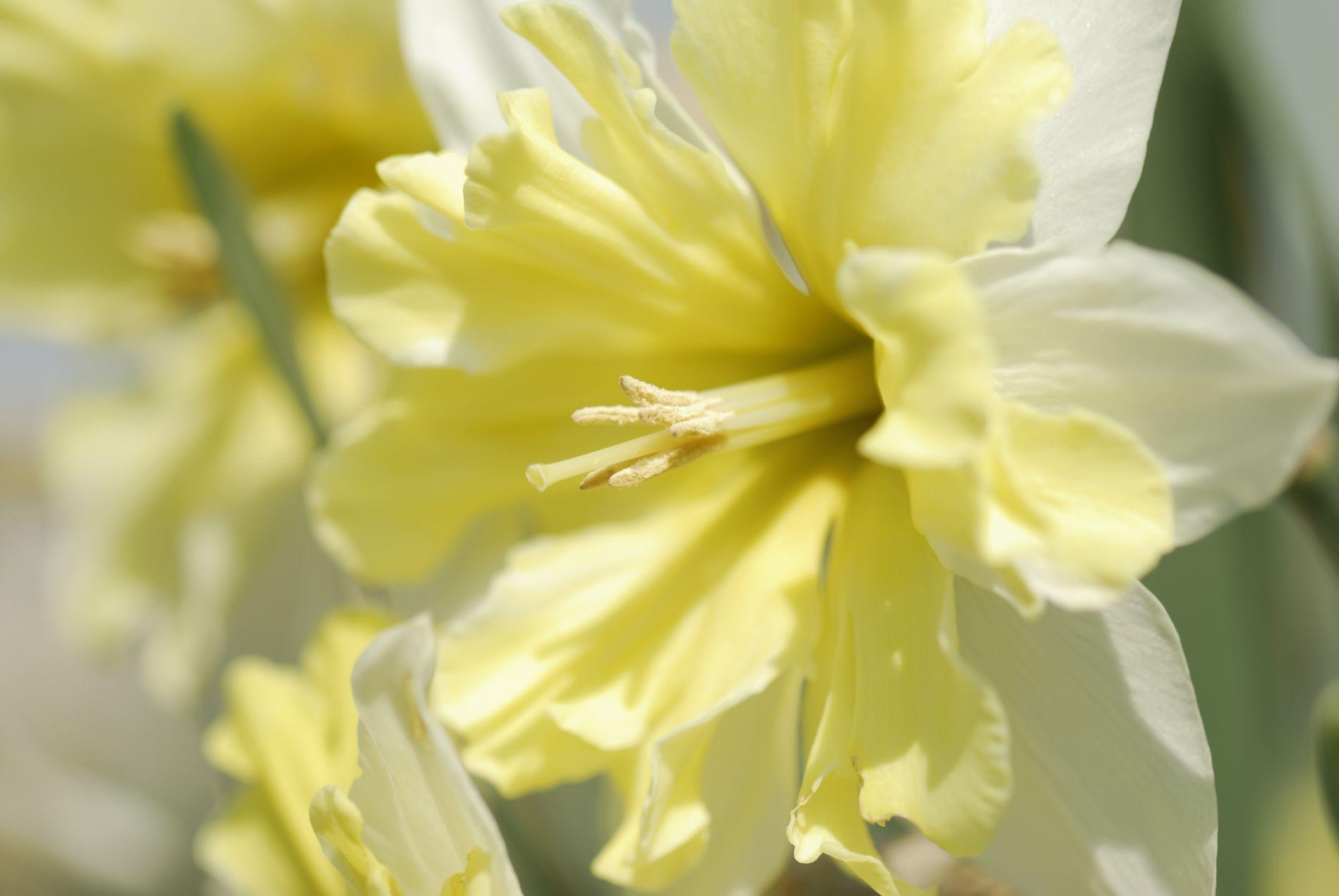 Valdrome Daffodil