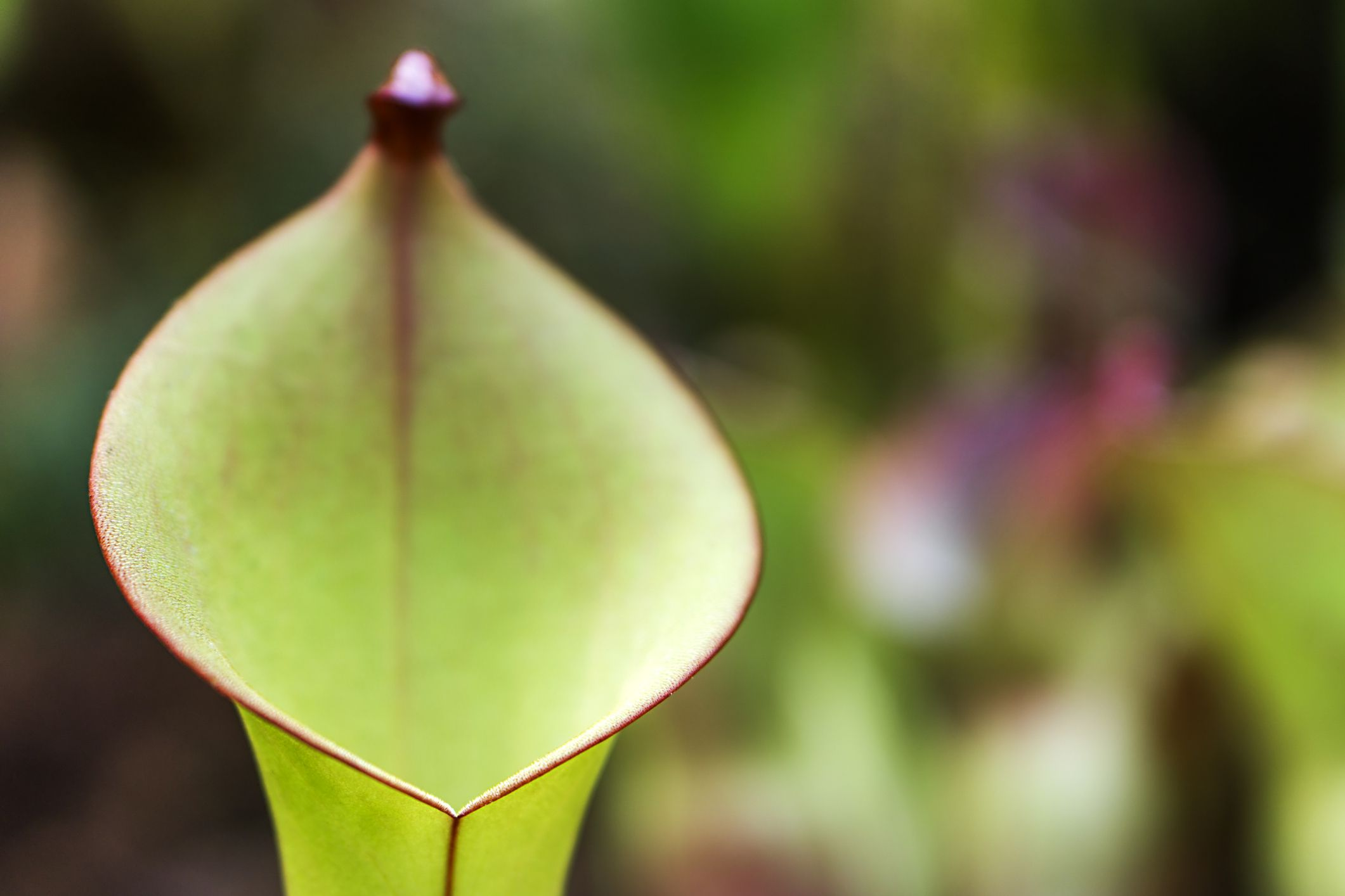 Pitcher of sun pitcher plant.