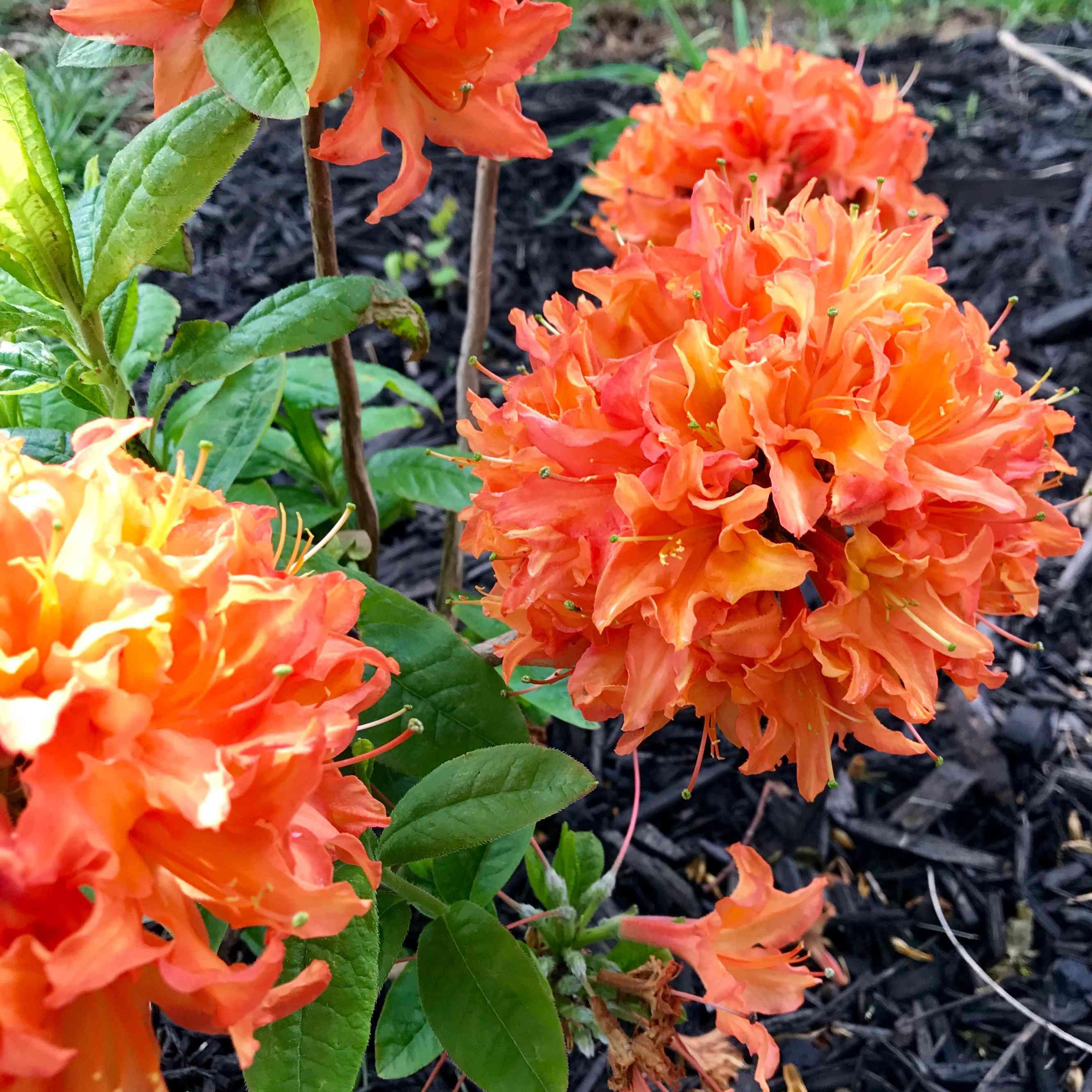 The 'Mandarin Lights' azalea with orange flowers