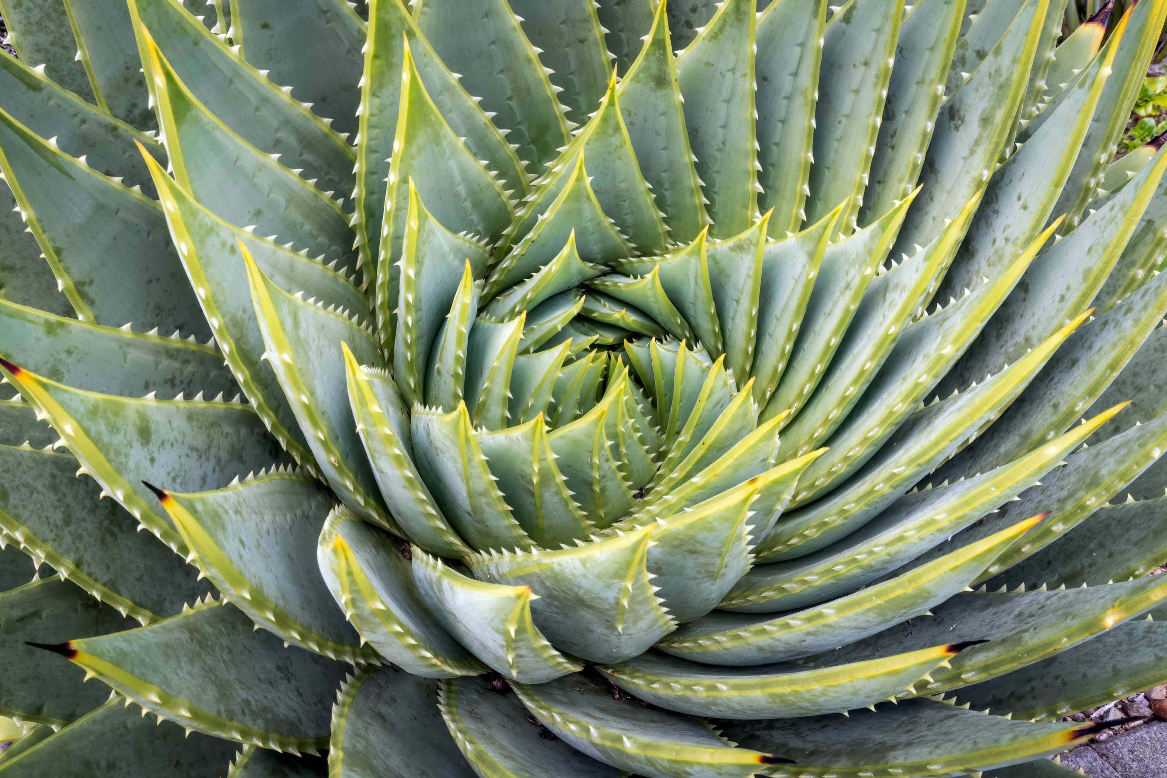 Spiral aloe vera succulent with triangular leaves spiraling inward with spiked edges closeup