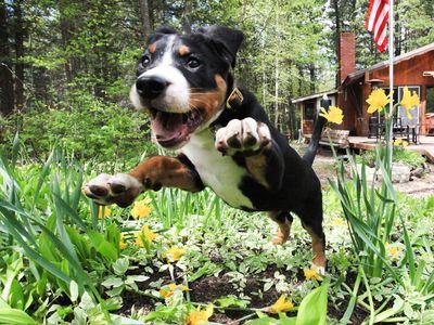 Puppy dog jumping into a flower garden