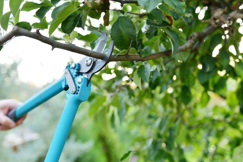 Gardener trimming tree