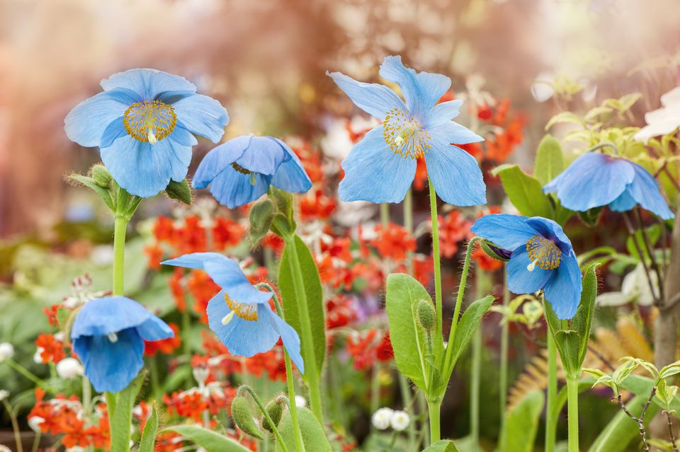 A cluster of Blue Poppy Flowers