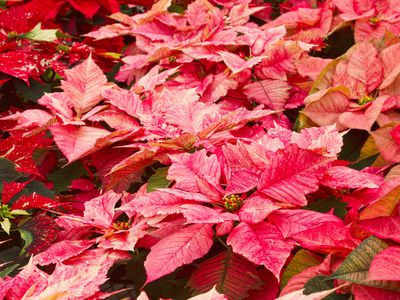 these 7 plants go hand in hand with the holidays