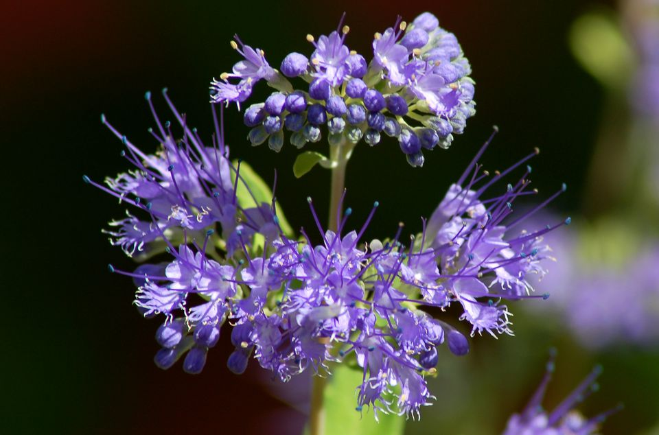 Image of bluebeard flower.
