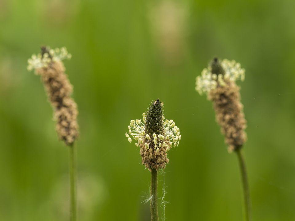 Plantain weed closeup