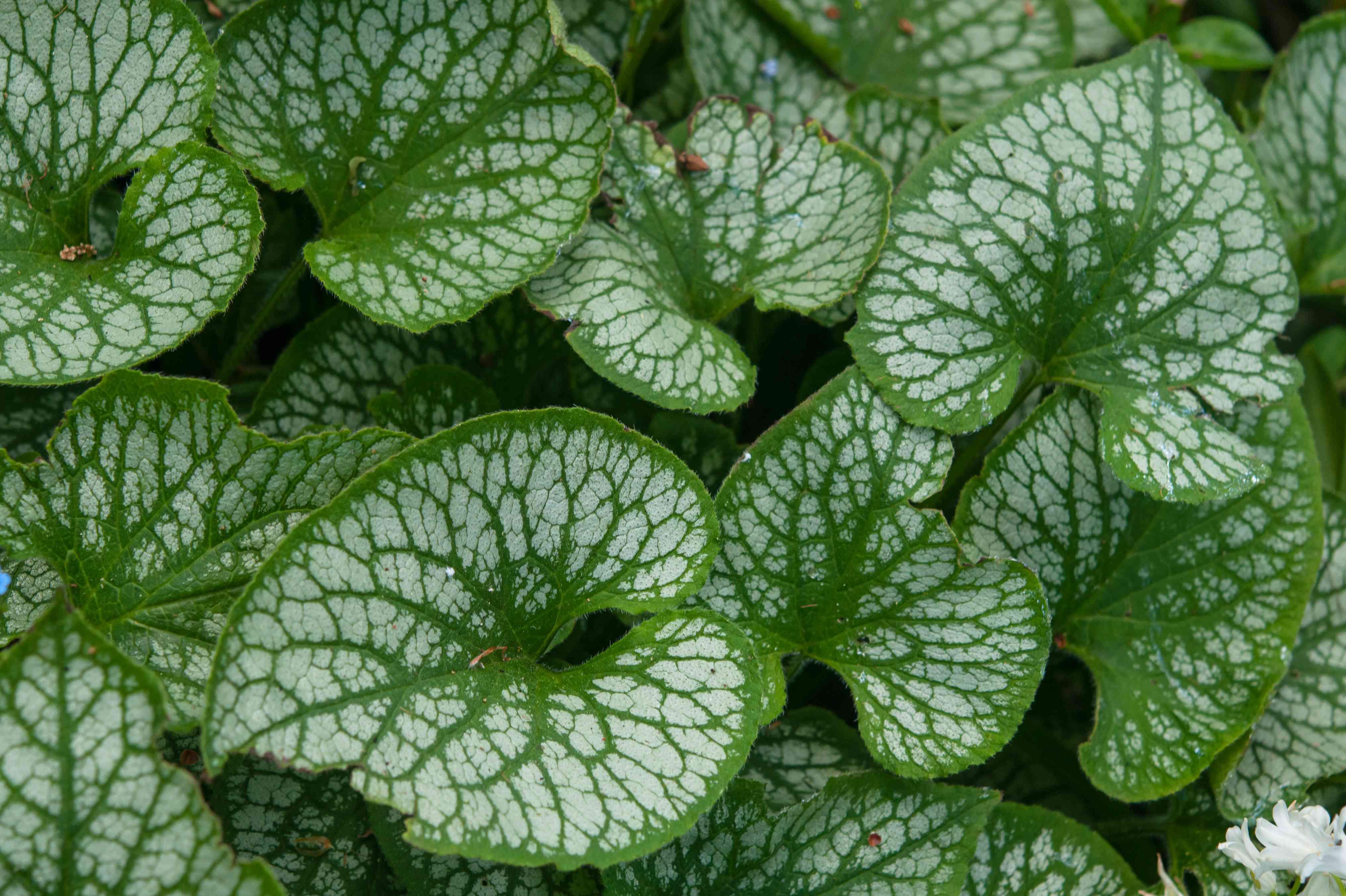 brunnera leaves