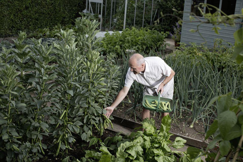 Senior man selecting vegetables for harvest in vegetable garden