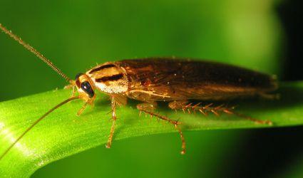 An Asian cockroach on a leaf