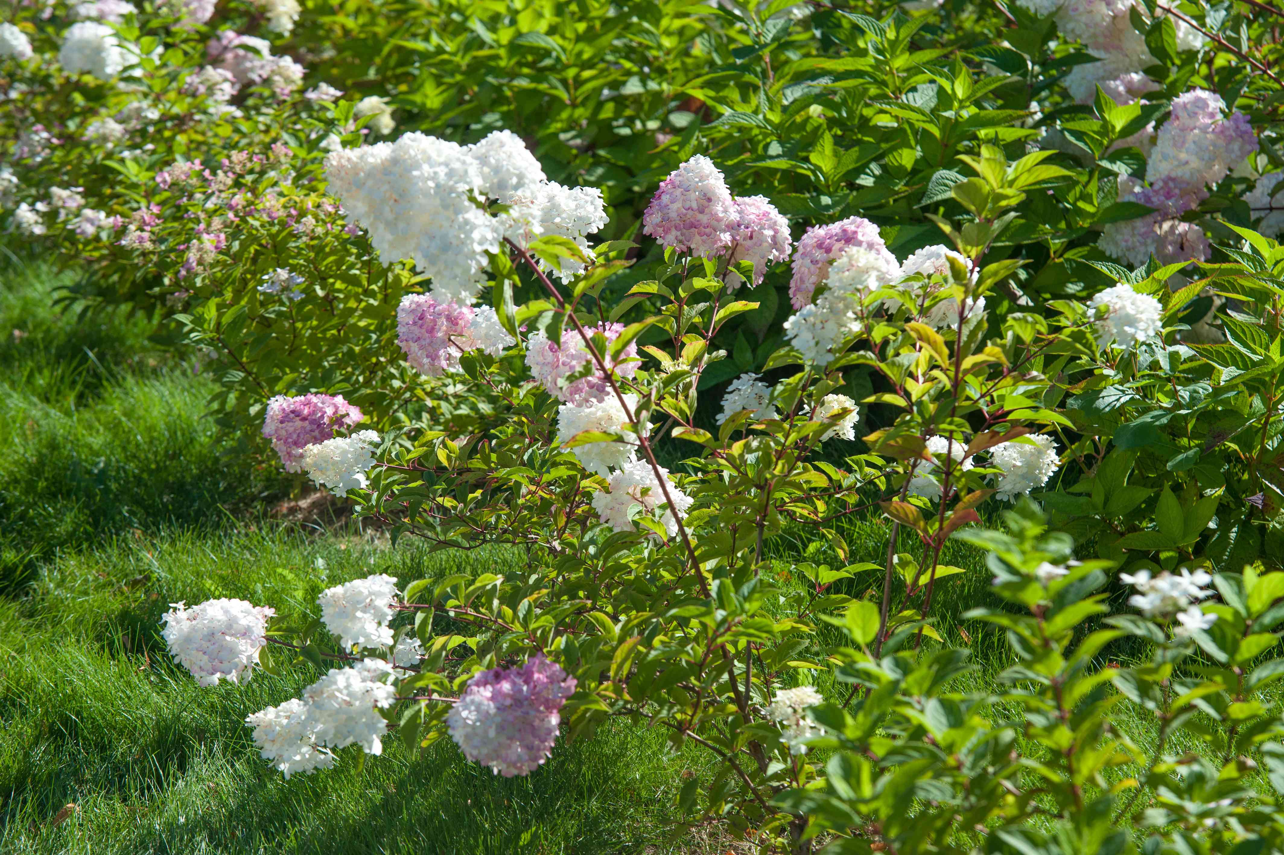 Strawberry vanilla hydrangea on long thin stems with white and pink flower heads in between branches