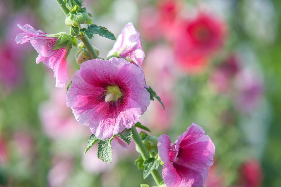 Hollyhock mallow plant with pink flowers on stem closeup