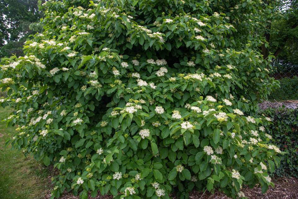 Silky dogwood shrub with dense thickets of large leaves and white flower clusters