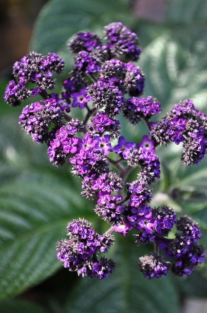 Heliotrope: Tips On Growing Heliotrope Indoors