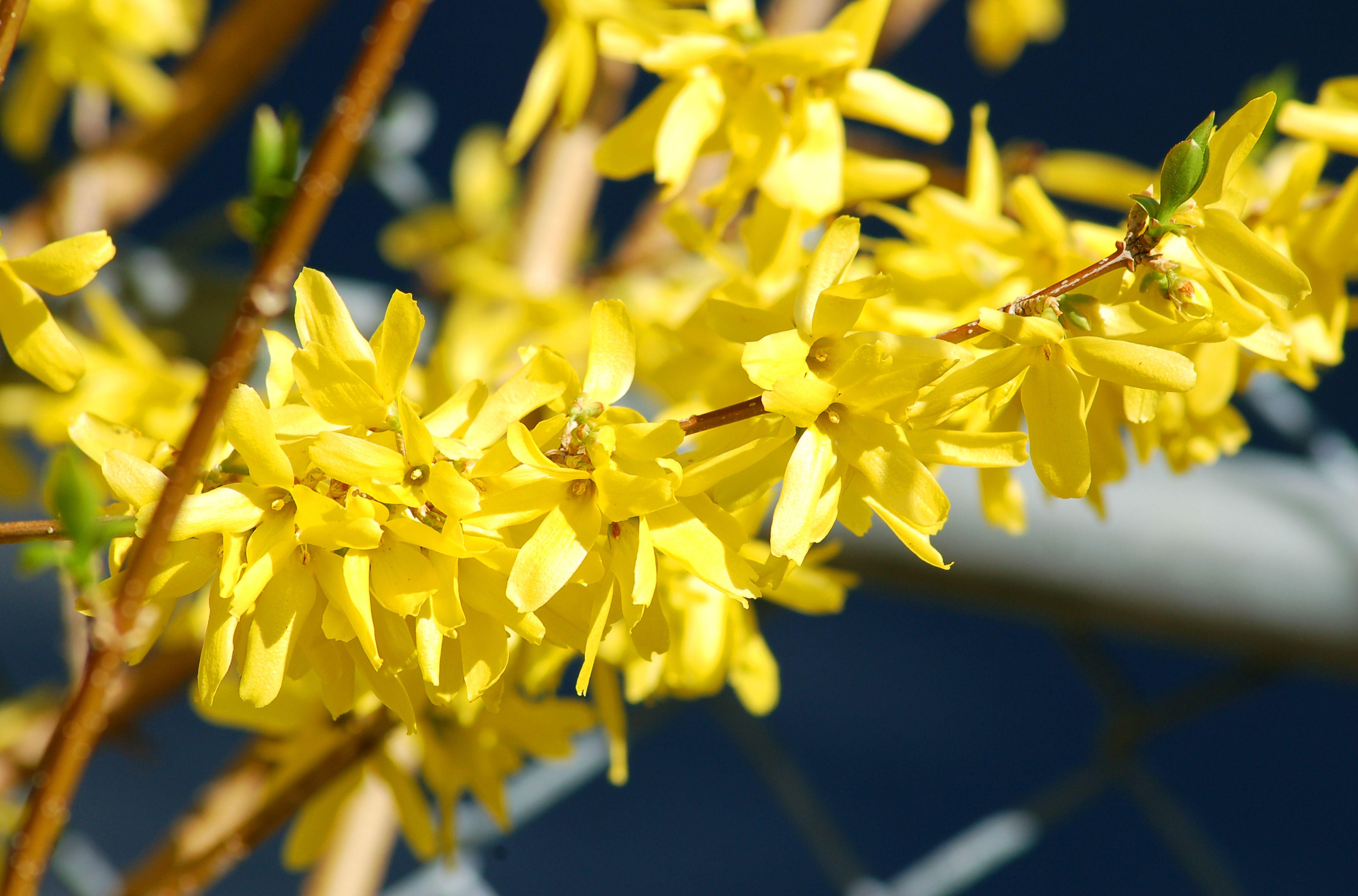 Forsythia branch in bloom.