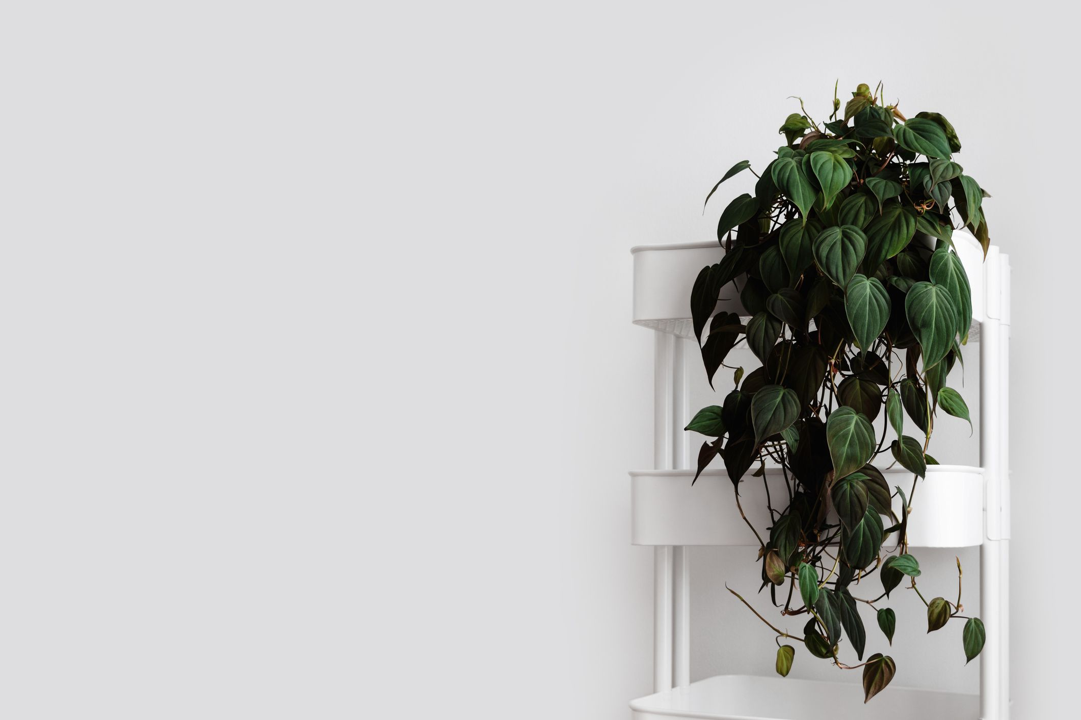 A Philodendron micans with dark green velvety leaves sitting in a white shelving unit.