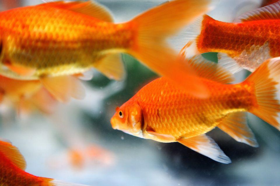 feng shui goldfish