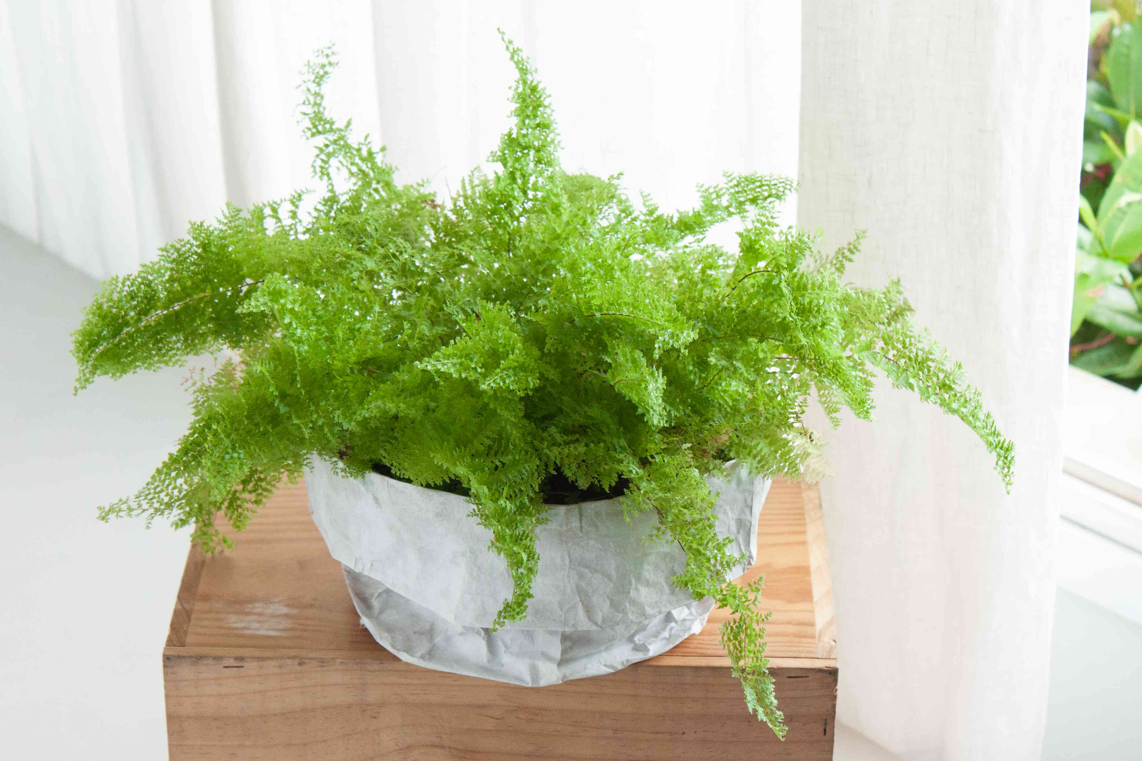 a fern positioned by a window